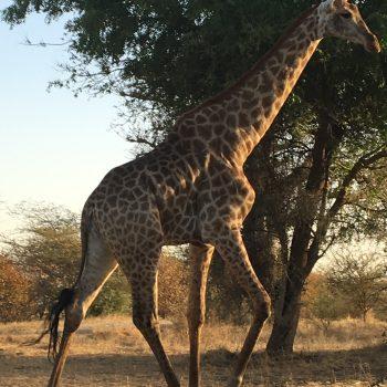 Malreise Senegal Gerafe
